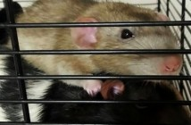 Rat-experiment-proves-that-drugs-don't-necessarily-cause-addiction.-What-does-is-too-close-for-comfort